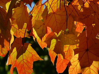 Peak leaf colors — and where to see them