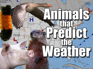 Groundhog not only animal forecasting weather
