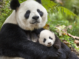 Movie review: Disney's 'Born in China'