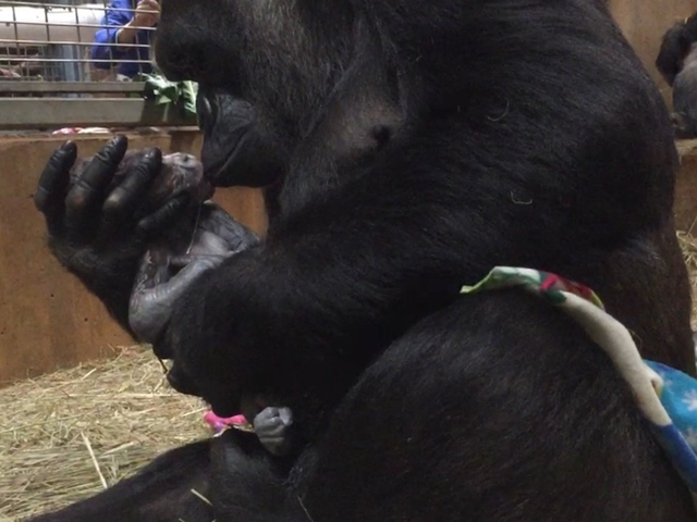 Natural instinct and a mother's love: Western lowland gorilla showers smooches on newborn at Smithsonian's National