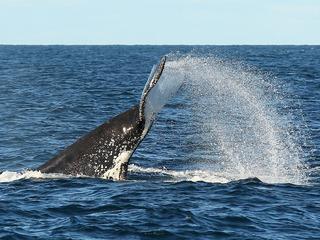 Humpback whale tangled in shark net freed