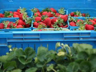 Health alert issued: Needles found in berries